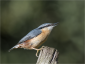 Agressive Nuthatch