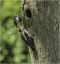 Greater Spotted Woodpeckers Feeding