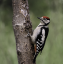 Juvenile,  Male Great  Spotted  Woodpecker