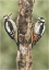 Male and Female Great Spotted Woodpecker