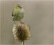 Siskin on frosted Teasel